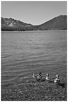 Ducks on shore of East Lake. Newberry Volcanic National Monument, Oregon, USA (black and white)