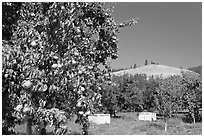 Pear orchard. Oregon, USA ( black and white)