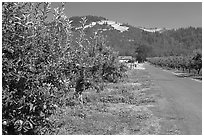 Apple orchard and road. Oregon, USA (black and white)