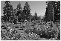 Rose Garden and city high rise. Portland, Oregon, USA (black and white)