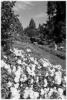 White roses, Rose Garden. Portland, Oregon, USA ( black and white)
