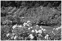 Rose Garden. Portland, Oregon, USA ( black and white)