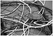 Crab crawling on ropes and nets. Newport, Oregon, USA (black and white)