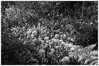 Dense patch of cobra-lilies (Californica Darlingtonia). Oregon, USA ( black and white)