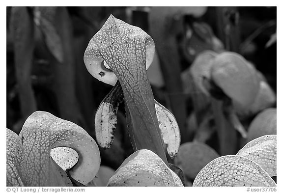 Close up of pitcher plants (Californica Darlingtonia). Oregon, USA (black and white)