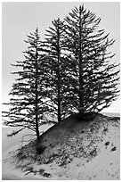 Pine trees on Umpqua dunes, Oregon Dunes National Recreation Area. Oregon, USA (black and white)