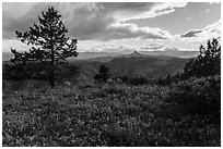 Wildflower carpet and distant Pilot Rock. Cascade Siskiyou National Monument, Oregon, USA ( black and white)