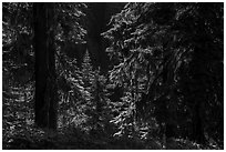 Backlit lush forest near Grizzly Peak. Cascade Siskiyou National Monument, Oregon, USA ( black and white)