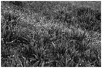 Detail of wildflower meadow near Grizzly Peak. Cascade Siskiyou National Monument, Oregon, USA ( black and white)