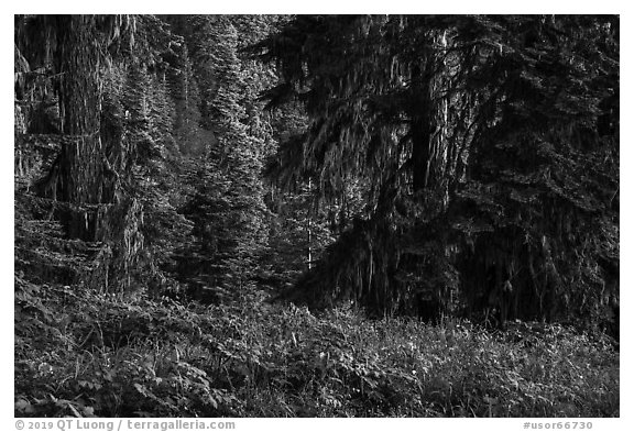 Wildflowers in lush forest near Grizzly Peak. Cascade Siskiyou National Monument, Oregon, USA (black and white)