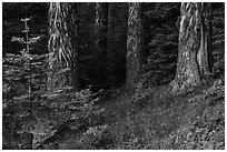 Tree trunks in summer. Cascade Siskiyou National Monument, Oregon, USA ( black and white)