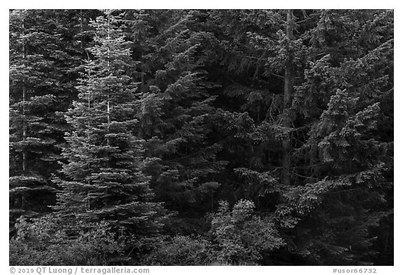 Close-up of dark conifer forest. Cascade Siskiyou National Monument, Oregon, USA (black and white)