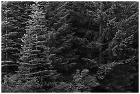 Close-up of dark conifer forest. Cascade Siskiyou National Monument, Oregon, USA ( black and white)