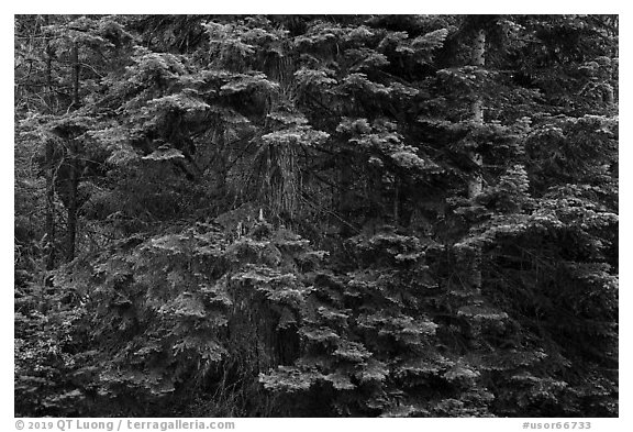 Close-up of dense conifer forest. Cascade Siskiyou National Monument, Oregon, USA (black and white)