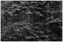 Close-up of dense conifer forest. Cascade Siskiyou National Monument, Oregon, USA ( black and white)