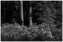 Shrubs in bloom and tree trunks, Surveyor Mountains. Cascade Siskiyou National Monument, Oregon, USA ( black and white)