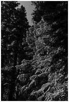 Looking up pine trees with light green needles, Surveyor Mountains. Cascade Siskiyou National Monument, Oregon, USA ( black and white)