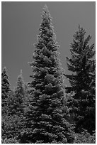 Fir tree with light green needles, Surveyor Mountains. Cascade Siskiyou National Monument, Oregon, USA ( black and white)