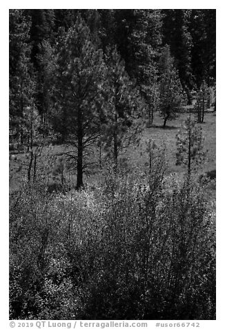 Ponderosa Pines in meadow. Cascade Siskiyou National Monument, Oregon, USA (black and white)