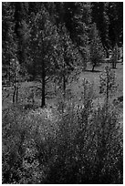 Ponderosa Pines in meadow. Cascade Siskiyou National Monument, Oregon, USA ( black and white)