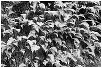 Ferns on wall, Columbia River Gorge. Columbia River Gorge, Oregon, USA (black and white)