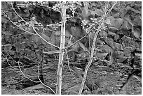 Trees and volcanic boulder. Mount St Helens National Volcanic Monument, Washington ( black and white)
