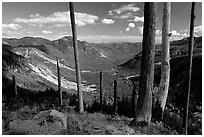 Standing dead trees at the edge of the blast. Mount St Helens National Volcanic Monument, Washington (black and white)