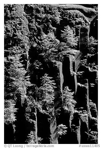 Basalt columns and young pine trees, Lava Canyon. Mount St Helens National Volcanic Monument, Washington (black and white)