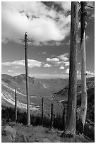 Dead tree trunks at the Edge. Mount St Helens National Volcanic Monument, Washington (black and white)