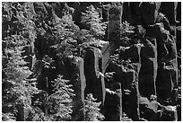 Young pine trees growing on columns of basalt, Lava Canyon. Mount St Helens National Volcanic Monument, Washington (black and white)