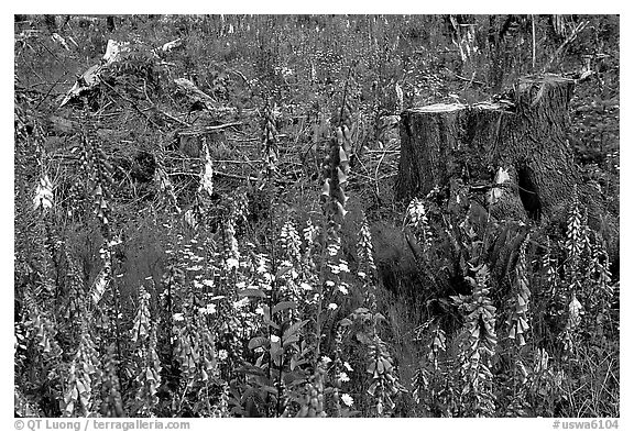 Close-up of tree stumps and wildflowers, Olympic Peninsula. Olympic Peninsula, Washington (black and white)