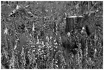 Close-up of tree stumps and wildflowers, Olympic Peninsula. Olympic Peninsula, Washington ( black and white)