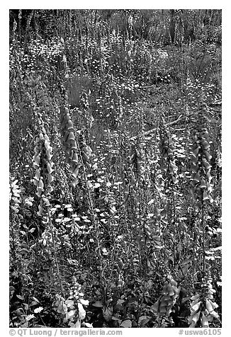 Close-up of wildflowers in clear-cut area. Olympic Peninsula, Washington (black and white)