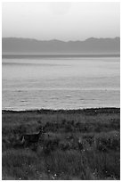 Deer in meadow at dawn, Catte Point, San Juan Island. Washington ( black and white)