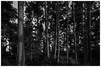 Pine trees near Iceberg Point at sunset, Lopez Island. Washington ( black and white)