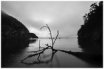 Fallen tree and Watmough Bay, Lopez Island. Washington ( black and white)