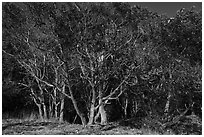 Madrone trees with orange peeling bark, Lime Point State Park, San Juan Island. Washington ( black and white)