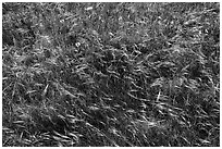 Close-up of summer grasses, Cattle Point, San Juan Islands National Monument, San Juan Island. Washington ( black and white)
