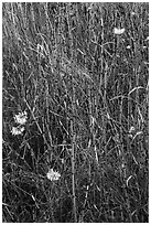 Close-up of grasses and flowers, Cattle Point NRCA, San Juan Islands National Monument, San Juan Island. Washington ( black and white)