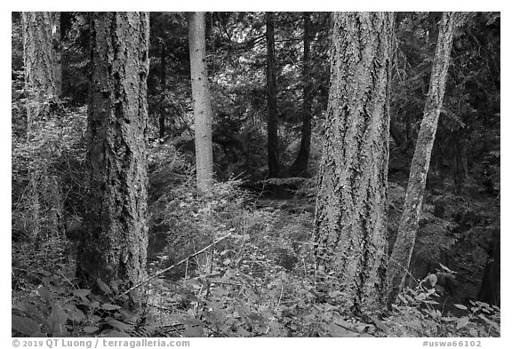 Old growth forest, Moran State Park. Washington (black and white)