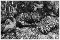 Seastars in rock crevice at low tide, Indian Island, San Juan Islands National Monument, Orcas Island. Washington ( black and white)