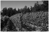 Vineyard, Lopez Island. Washington ( black and white)