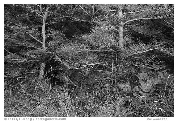 Ferns and conifers, San Juan Islands National Monument, Lopez Island. Washington (black and white)