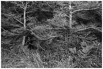 Ferns and conifers, San Juan Islands National Monument, Lopez Island. Washington ( black and white)
