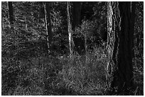 Forest with late light, San Juan Islands National Monument, Lopez Island. Washington ( black and white)
