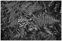 Close-up of ferns and berries, San Juan Islands National Monument, Lopez Island. Washington ( black and white)