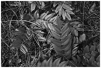 Close-up of leaves on forest floor, San Juan Islands National Monument, Lopez Island. Washington ( black and white)