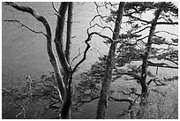 Madrone and pine trees, Watmough Bay, San Juan Islands National Monument, Lopez Island. Washington ( black and white)