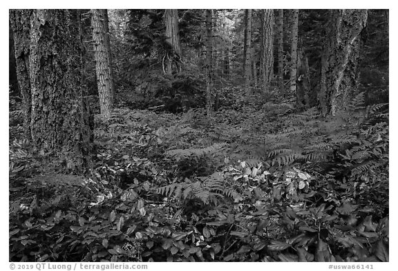 Ferns and forest, San Juan Islands National Monument, Lopez Island. Washington (black and white)