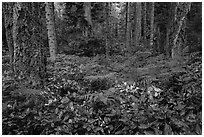 Ferns and forest, San Juan Islands National Monument, Lopez Island. Washington ( black and white)